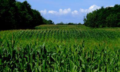 Champs de maïs, chemin du Bord de l'eau (photo Vincent Rowell)